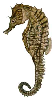 035-Lined_Seahorse
