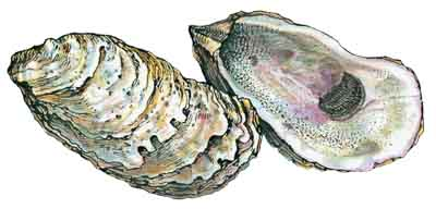 American Oyster