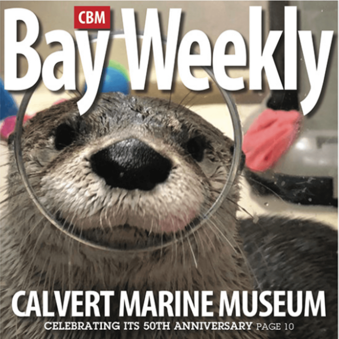Otter on the cover of the Bay Weekly Opens in new window
