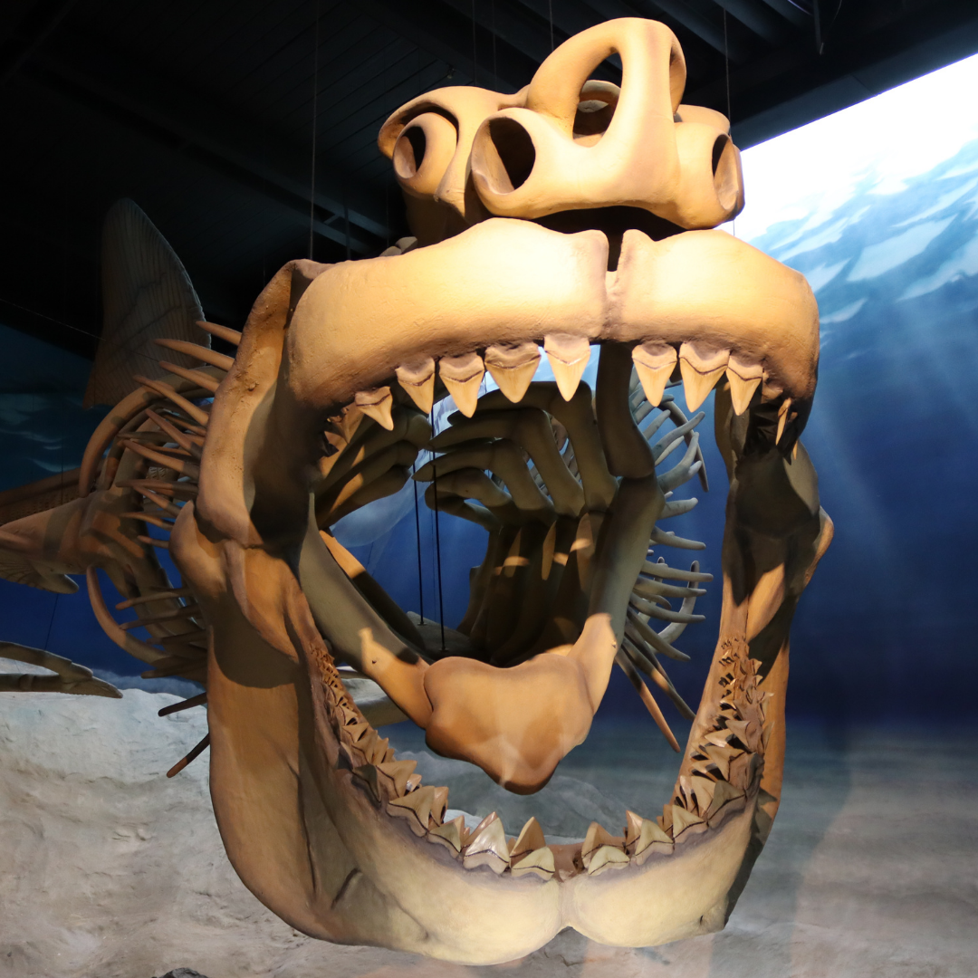Megalodon Model Opens in new window